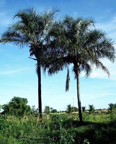 Sementes de Palmeira Licuri - Syagrus coronata: 2 Sementes