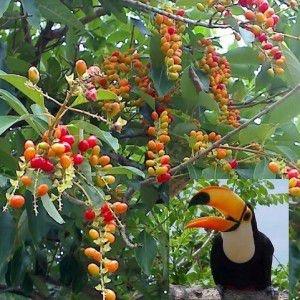 Sementes de Papagaio - Aegiphila sellowiana - 10 Sementes