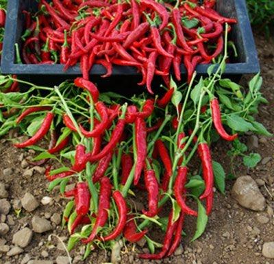 Sementes de Pimenta Long Cayenna ORGÂNICO: 40 Sementes