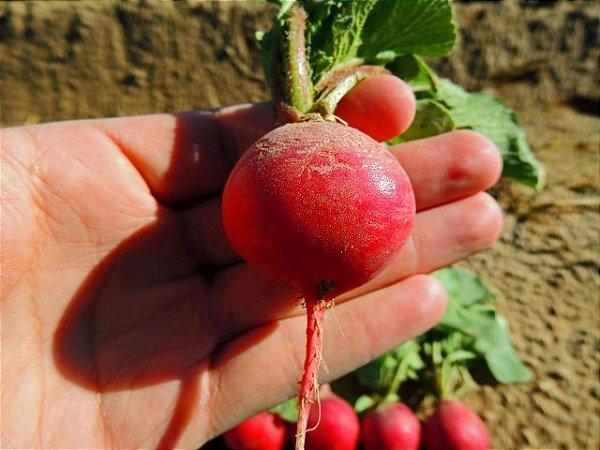 Sementes de Rabanete Cherry Belle ORGÂNICO: 20 Sementes