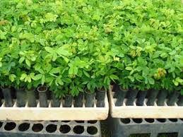 Sementes de Sansão do Campo (Cerca Viva) – Mimosa Caesalpiniifolia - 20 Sementes