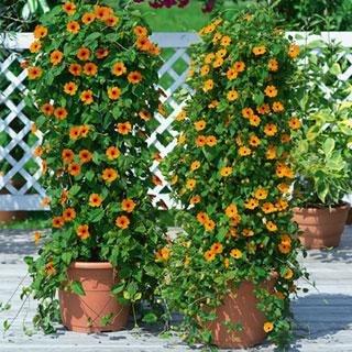 Sementes de Thumbergia (Amarelinha): 10 Sementes