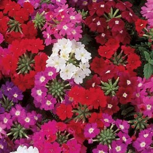 Sementes de Verbena Sortida: 15 Sementes