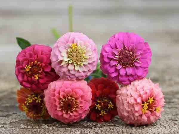 Sementes de Zinnia Lilliput Sortido: 15 Sementes