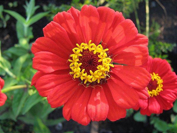 Sementes de Zinnia Vermelha Gigante da Califórnia: 15 Sementes