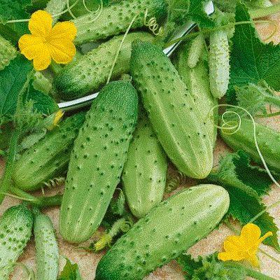 Sementes de Pepino Calypso ORGÂNICO: 20 Sementes