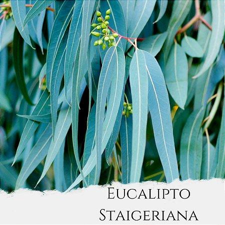 Óleo Essencial de Eucalipto Staigeriana