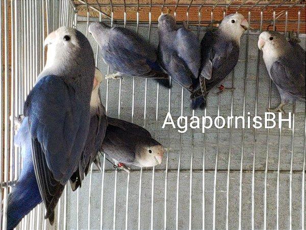 VIoleta  Depurados- Aves Adultas 1 Ano Unidade