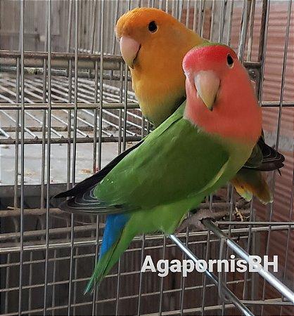Matriz 06 : casal PL Macho Verde Jade PL x Femea Opalina Cara LaranjaPL