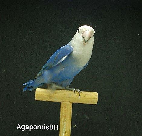 Roseicollis Azul Macho
