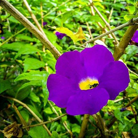 Tumbergia Arbustiva ou Tumbergia Erecta - Lindas Mudas