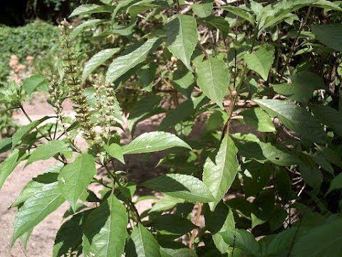 Manjericão Cravo ou Alfavaca Cravo - Lindas Mudas