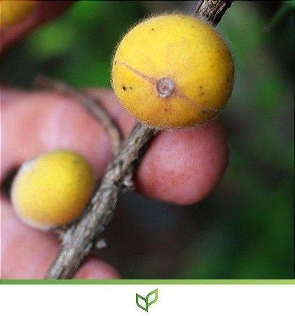 Cabeludinha ou Jabuticaba Amarela - Lindas Mudas