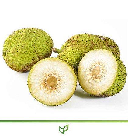 Fruta Pão Raiz - Lindas Mudas