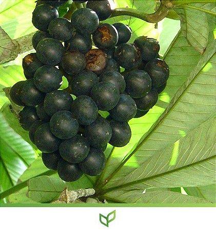 Mapati - Uva Da Amazônia - Lindas Mudas