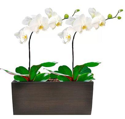 Orquídeas Brancas Dupla G