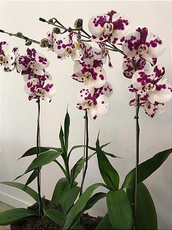 Orquídeas Phalaenopsis Dalmata