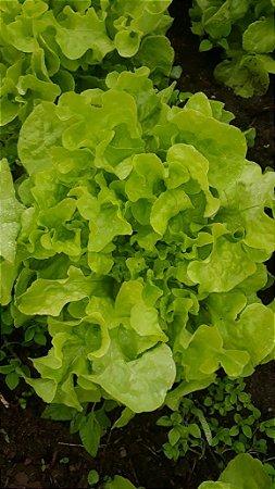 Alface crespa verde - unidade