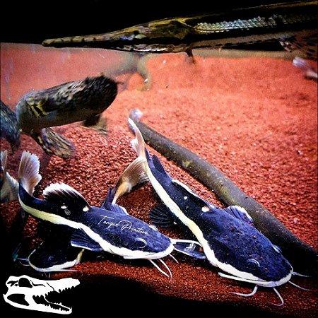 Peixe Pirarara (Phractocephalus hemioliopterus)