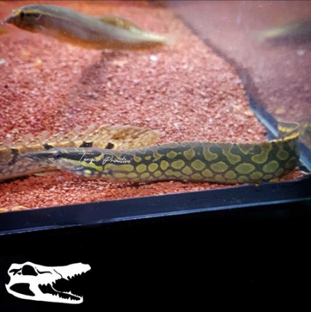 Peixe Moreia TireTrack Eel (Mastacembelus armatus)