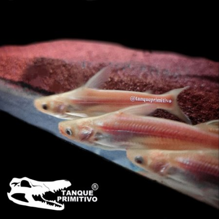 Peixe Pangasius Albino (Pangasianodon hypophthalmus)