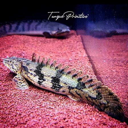 Peixe Polypterus endlicherii