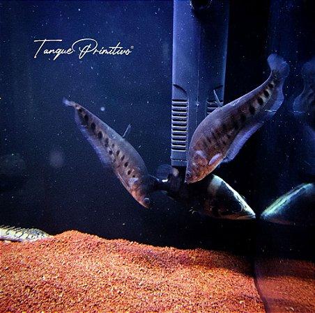 Peixe Faca Palhaço (Chitala Chitala)