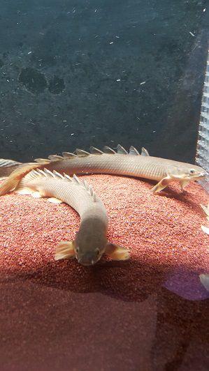 Peixe Polypterus Senegalus