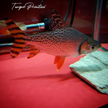 Peixe Jaraqui (Semaprochilodus insignis)