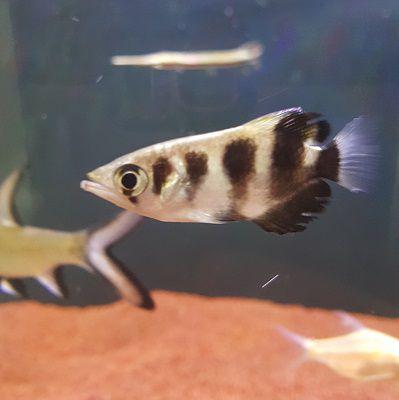 Peixe Arqueiro (Toxotes jaculatrix)