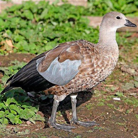 Ganso do Abissínia adulto mais de 12 meses - Sitio Refúgio das Aves de Lumiar (a partir de Julho/2021)