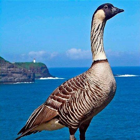 Ganso do Havaí de 6 a 12 meses - Sitio Refúgio das Aves de Lumiar (a partir de Julho/2021)