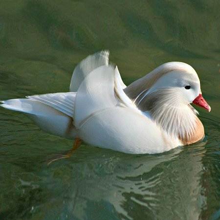 Marreco Mandarim Branco de 6 a 12 meses - Sitio Refúgio das Aves de Lumiar