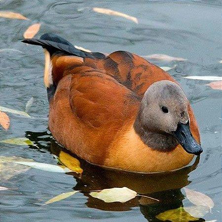 Tadorna Cana adulto mais de 12 meses - Sitio Refúgio das Aves de Lumiar (a partir de Julho/2021)
