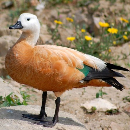 Tadorna Ferruginea de 6 a 12 meses - Sitio Refúgio das Aves de Lumiar (a partir de Julho/2021)