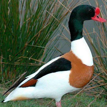 Tadorna Tricolor de 6 a 12 meses - Sitio Refúgio das Aves de Lumiar (a partir de Julho/2021)