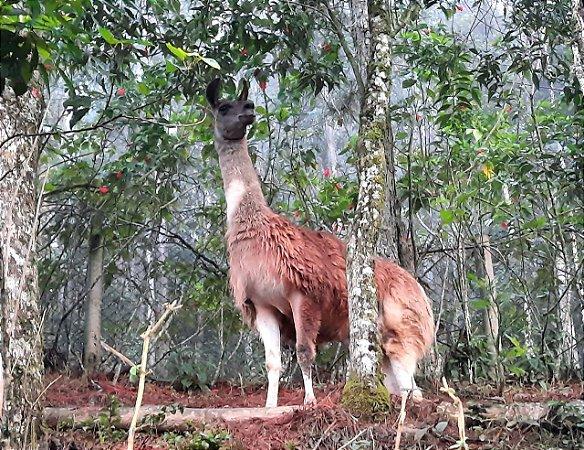 Lhama Macho (Reprodutor) - Sitio Refúgio das Aves de Lumiar