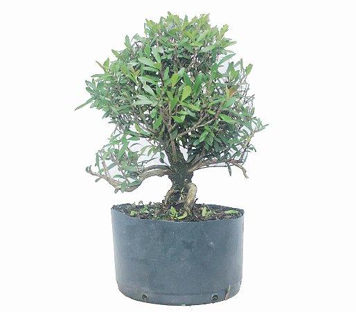 Pré Bonsai de Cereja Silvestre 5 anos ( 40 cm) Frutificando