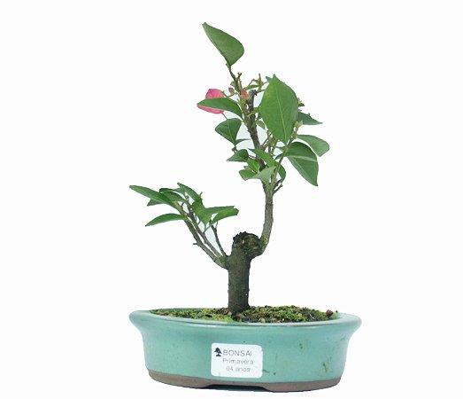 Bonsai de Primavera Boungavillea 4 anos (30 cm)