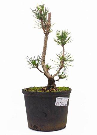 Pré Bonsai de Pinheiro Negro (Pinus Thumbergi) 44 cm