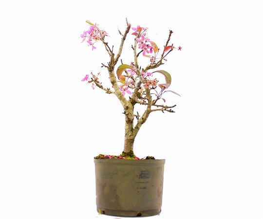 Pré Bonsai de Macieira Anã (Malus Everest) 6 anos - 47 cm - Frutificando