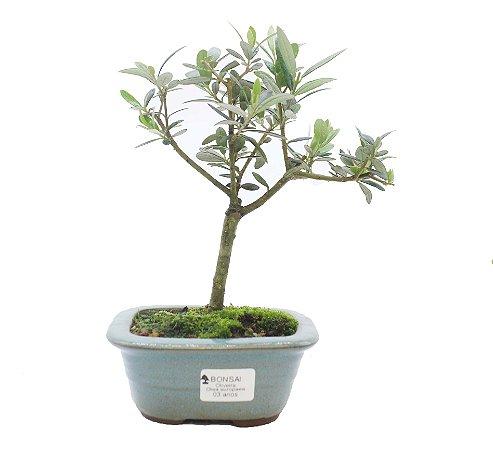 Bonsai de Oliveira 3 anos (25 cm)