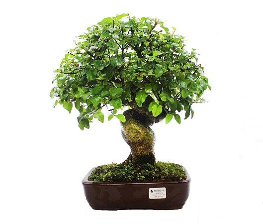 Bonsai de Ligustrinho 15 anos (40 cm)