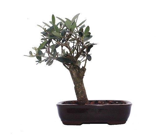 Bonsai de Oliveira 4 anos (22 cm)