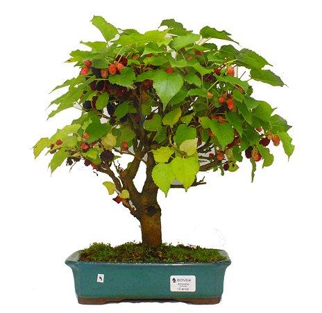 Bonsai de Amoreira 12 anos (35 cm) Frutificando