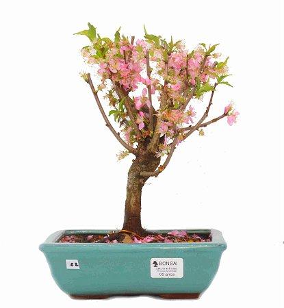 Bonsai de Sakura Anã 6 anos (28 cm) Florescendo