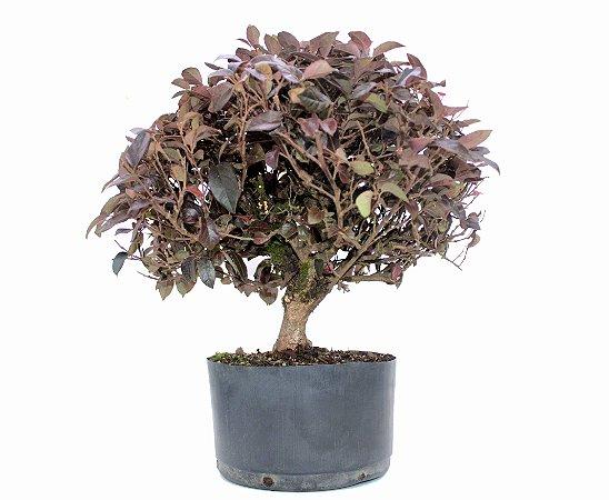 Bonsai de Loropetalum 8 anos (45 cm) Hamamélis