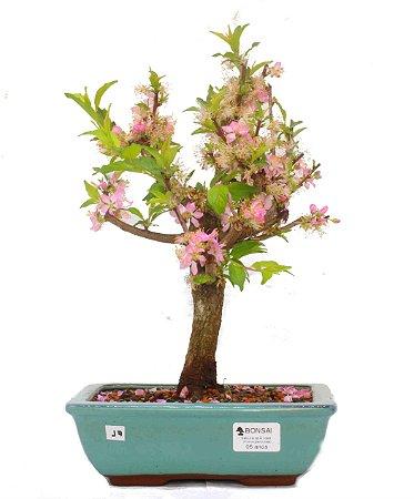 Bonsai de Sakura Anã 6 anos (35 cm) Florescendo