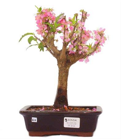 Bonsai de Sakura Anã 6 anos (30 cm) Florescendo