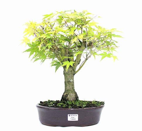 Bonsai de Acer Palmatum 15 Anos ( 40 cm)